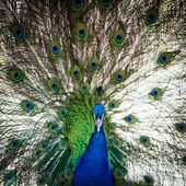 Splendid peacock with feathers out — Stockfoto