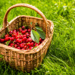 Freshly picked cherries — Stock Photo #40425829
