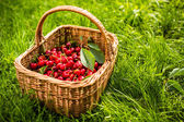 Freshly picked cherries — Stock Photo