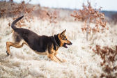 Splendid German Shepherd — Stock Photo
