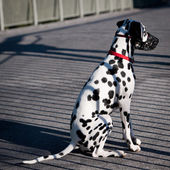Cute Dalmatian — Stock Photo