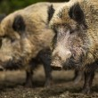 Stock Photo: Two Wild boars (Sus scrofa)