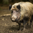 Stock Photo: Wild boar (Sus scrofa)