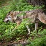 Gray, Eurasian wolf (Canis lupus) — Stockfoto #41960803