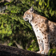 Eurasian Lynx (Lynx lynx) — Stock Photo #41961185