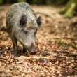 Wild boar (Sus scrofa) — Stock Photo