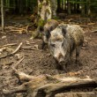 Wild boar — Stock Photo #41961207