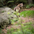 Stock Photo: Gray,Eurasiwolf