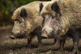 Two Wild boars (Sus scrofa) — Stock Photo