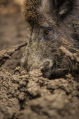 Wild boar (Sus scrofa) — Photo