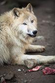 Arctic Wolf (Canis lupus arctos) — Stock Photo