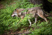 Gray, Eurasian wolf (Canis lupus) — Stock Photo
