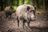 Wild boar (Sus scrofa) — ストック写真