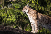 Eurasian Lynx (Lynx lynx) — Stock Photo