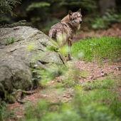 Gray, Eurasian wolf (Canis lupus) — Stock Photo