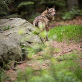 Gray,Eurasian wolf — Stock Photo