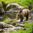 Brown bear — Stock Photo #43151251
