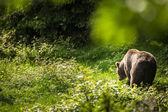 Brown bear (Ursus arctos) — Stockfoto