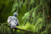 Common Wood Pigeon (Columba palumbus) — 图库照片