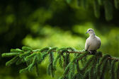 Collared dove, (Streptopelia decaocto) — Stok fotoğraf
