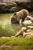 Brown bear — Photo