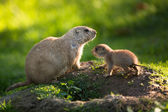 Cute black tailed prairie dog with a youngster — Stock Photo