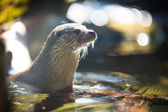 Eurasian otter — Stock Photo