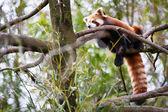 Panda-vermelho — Fotografia Stock