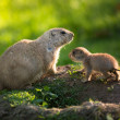 Cute black tailed prairie dog with a youngster — Stock Photo #46715453