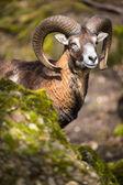 The mouflon — Stock Photo