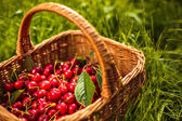 Cherries in a basket — Stock Photo