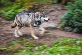 Gray, Eurasian wolf — Stock Photo