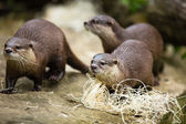 Cute otters - Eurasian otter — Stock Photo