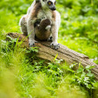 Lemur kata — Stock Photo
