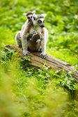 Lemur kata — Stock Photo