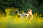 Przewalski horse grazing — Stock Photo