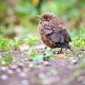 Baby Common Blackbird (Turdus merula) — Foto de Stock