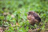 Baby Common Blackbird (Turdus merula) — Foto Stock