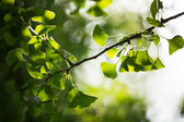 Ginkgo biloba tree branch with leafs — Stock Photo