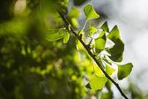 Ginkgo biloba tree branch with leafs — Stock Photo