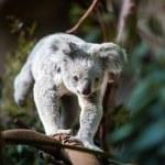 Koala on a tree with bush — Stock Photo #49287601