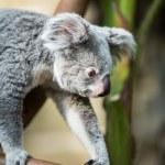 Koala on a tree with bush — Stock Photo #49287609