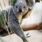 Koala on a tree with bush — Stock Photo #49287613