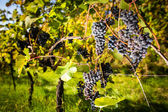 Large bunches of red wine grapes hang — Stock Photo