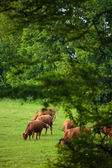 Cows grazing on a  green pasture — Foto Stock