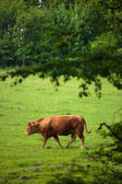 Cow grazing on a  green pasture — Foto Stock