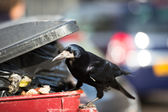 Raven feeding on rubbish in a city — Stock Photo