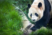 Giant panda (Ailuropoda melanoleuca) — Stock Photo