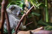 Koala on a tree with bush — Stockfoto