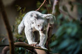 Koala on a tree with bush — Stok fotoğraf